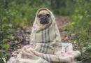 Kolumne: Kalte Kleinkunst - Ein Mops in eine Decke gehüllt